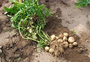 potatoes_sidebar